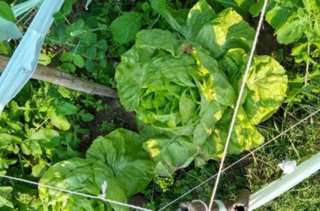 Para sembrar diferentes variedades en la Quinta