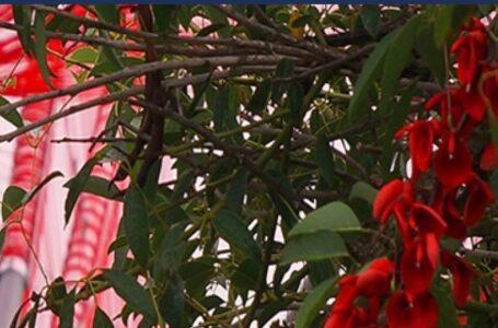 A ORILLAS DEL RÍO DE LA PLATA Hecha con 15 km de tanza roja, una instalación recrea la flor de ceibo